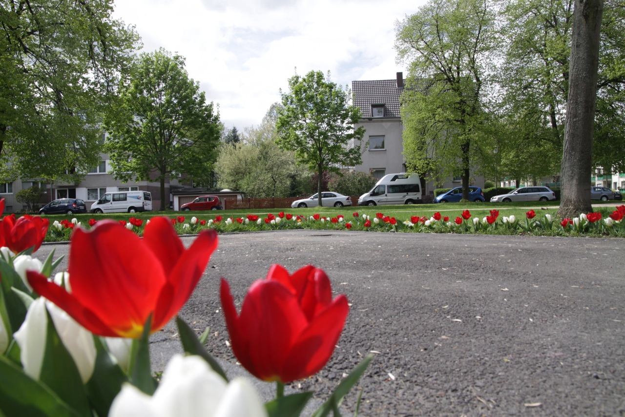 Tulipa 2